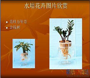 水培花卉养殖ppt课件_室内观叶植物